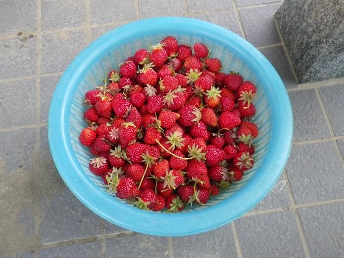 収穫2_17_05_23