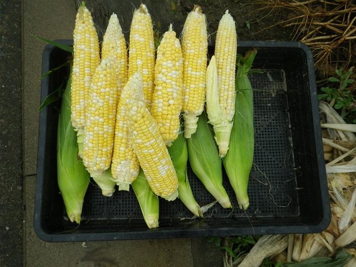 収穫6_17_06_25
