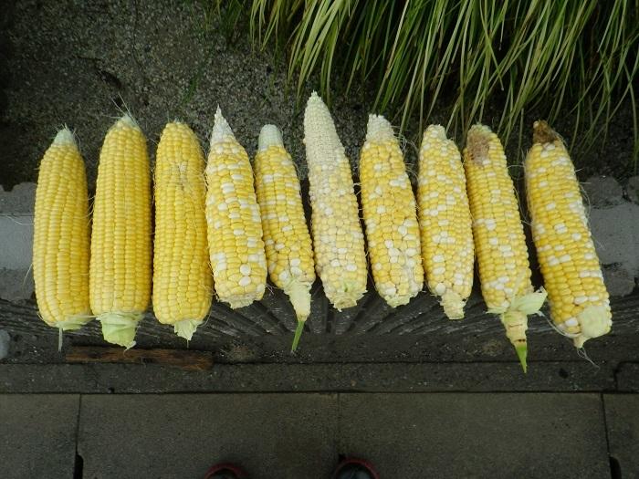 収穫2_17_07_05