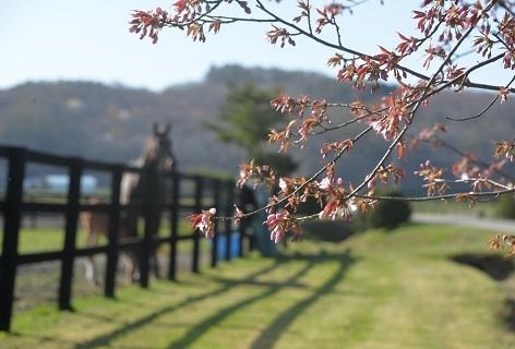 5・桜・朝