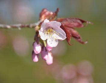 5・桜・開花