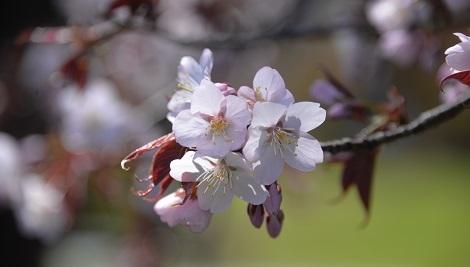 5・桜・あっという間に