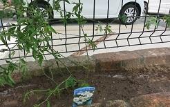 7-5白モッコウ植える
