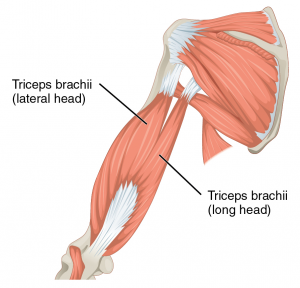 1120_Muscles_that_Move_the_Forearm_Humerus_Ext_Sin.png