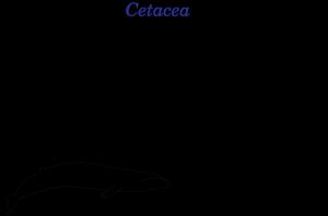 800px-Cetaceans.png