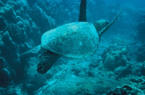 800px-Green-sea-turtle.jpg