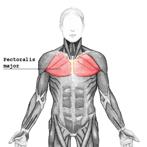 Pectoralis_major_20170504060051626.png