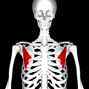 Pectoralis_minor_muscle_frontal.png