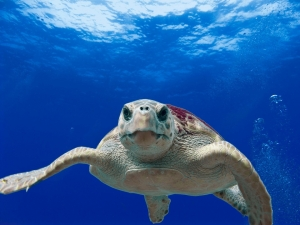 loggerhead-turtle-123402_960_720.jpg