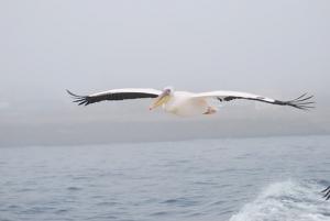 pelican-806300__340.jpg