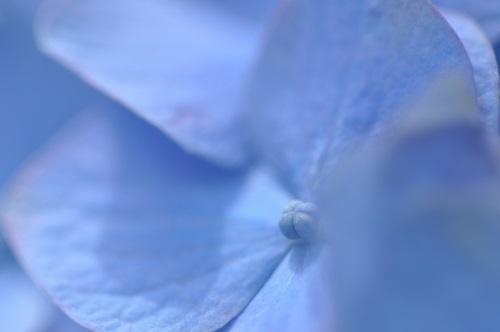 0608紫陽花マクロ