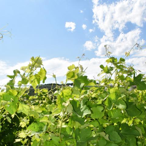 つくばワイナリー(つくば市北条)のブドウ園