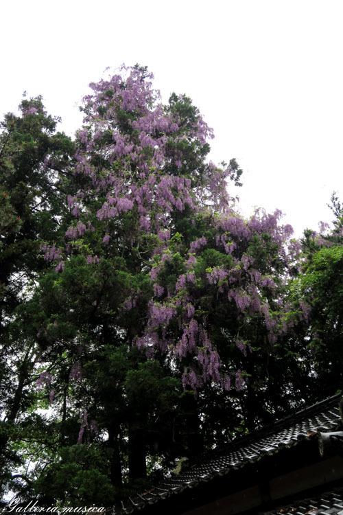 藤の花20175