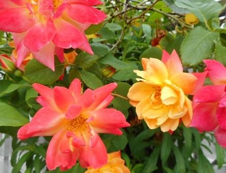 四季咲き3