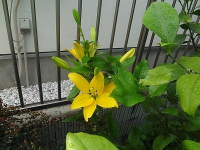 黄色いユリ(縮小)