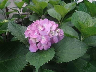 紫陽花1(縮小)