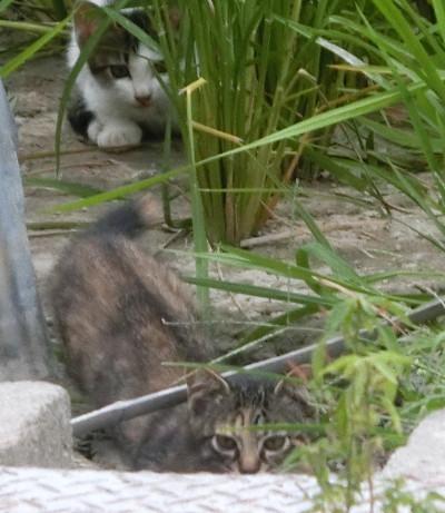 170504-舟渡池公園のネコ-4