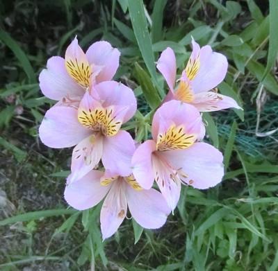 170528-舟渡池公園の花-5