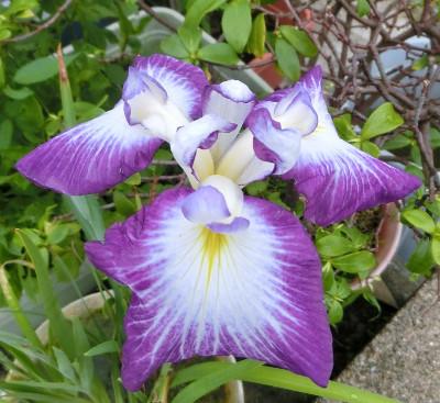 170630-花菖蒲白紫-2