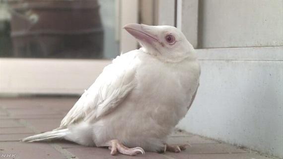 white-raven.jpg