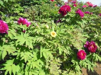 クリーム色のボタン170430土山土建さんのお庭