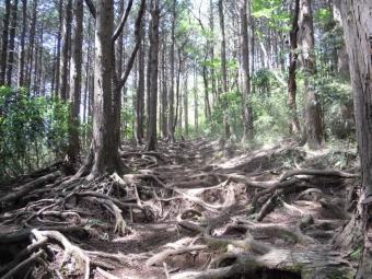 木の根の露出した緩やかな坂170502