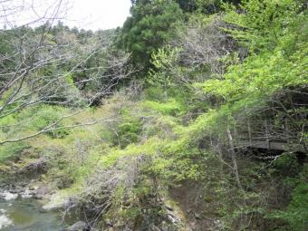 札掛け橋で新緑170503