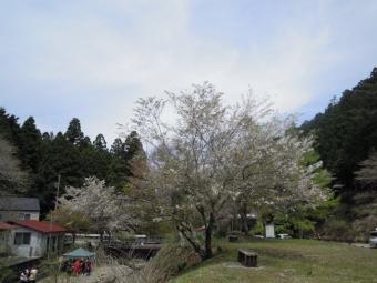 気まぐれ喫茶の桜170503