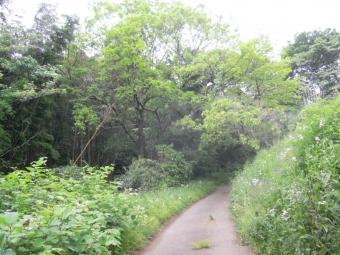 黒岩に続く道柿の木170517