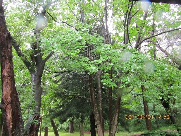 雨の松林2