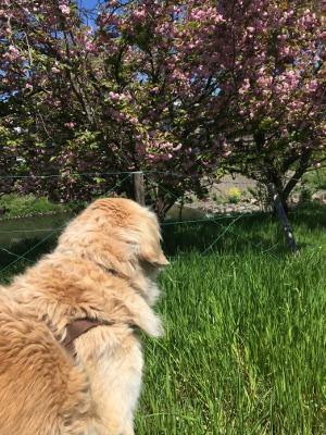 桜の次は八重桜かあ
