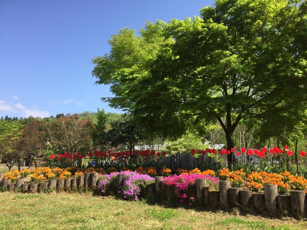 カモミール横花壇チューリップ201705-01