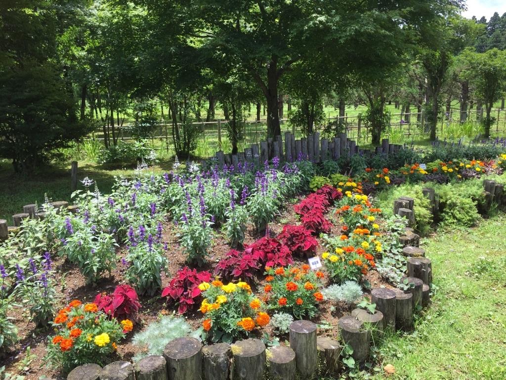 カモミール 花壇、画像左側 猫のヒゲの花