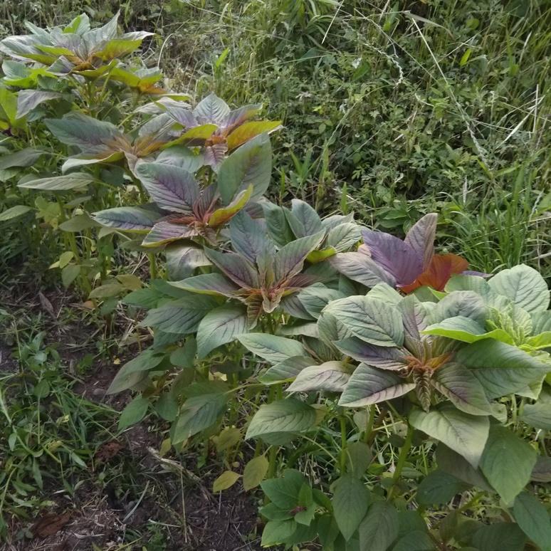 Amaranthus 20170616