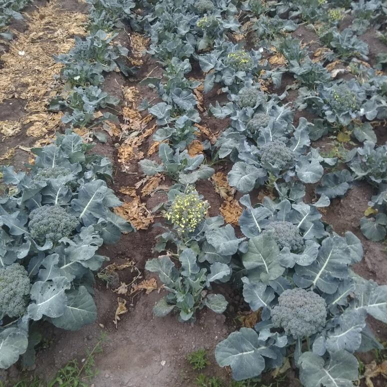 Broccoli 20170524