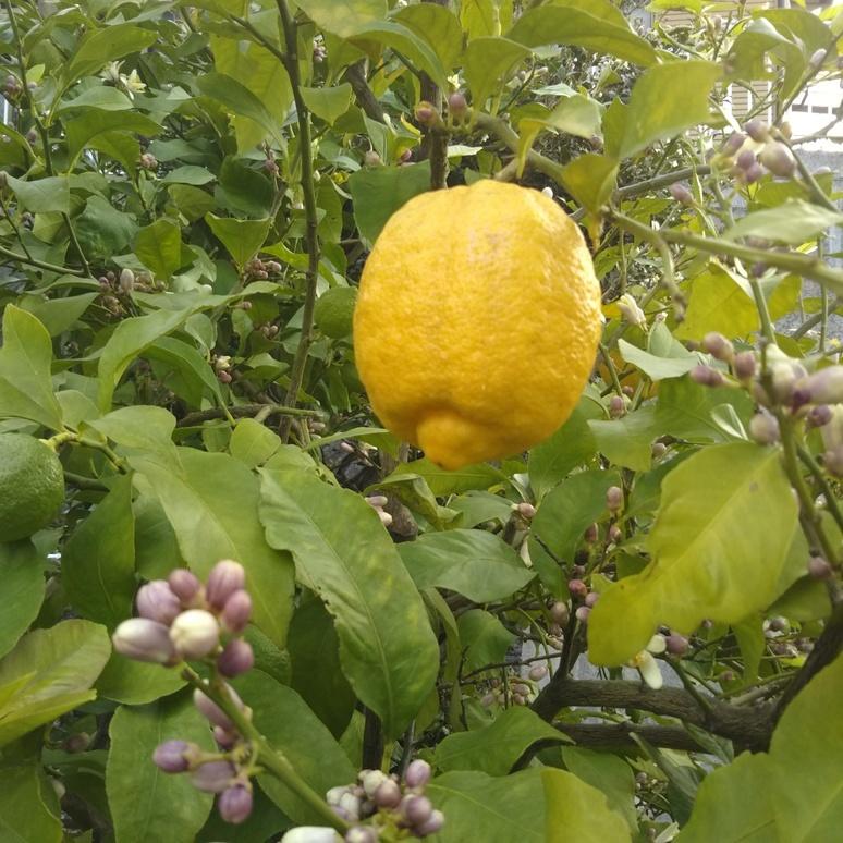Lemon 20170430-2