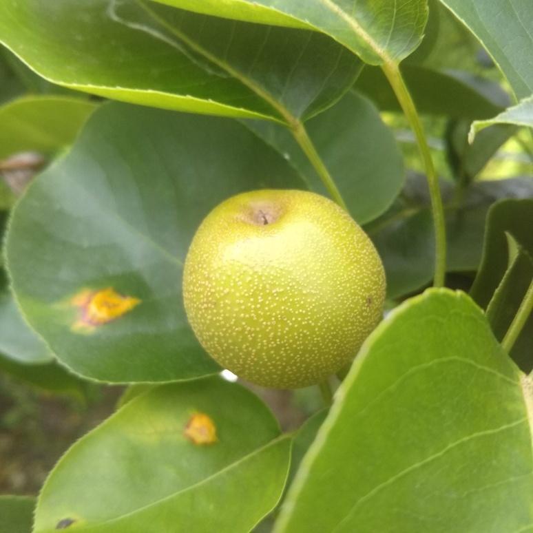 Nashi pear 20170602