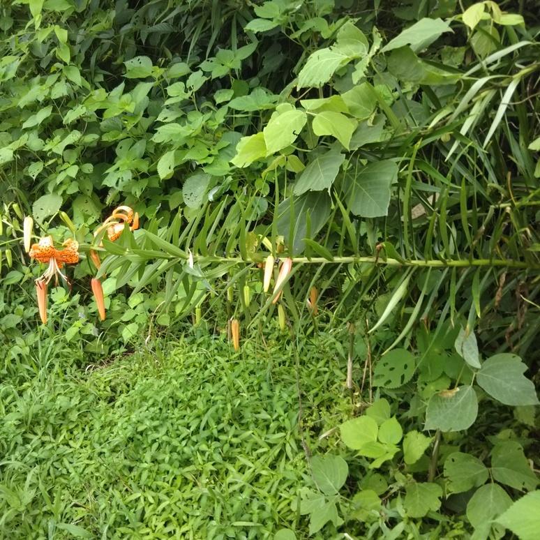 Oniyuri lily 20170707-4