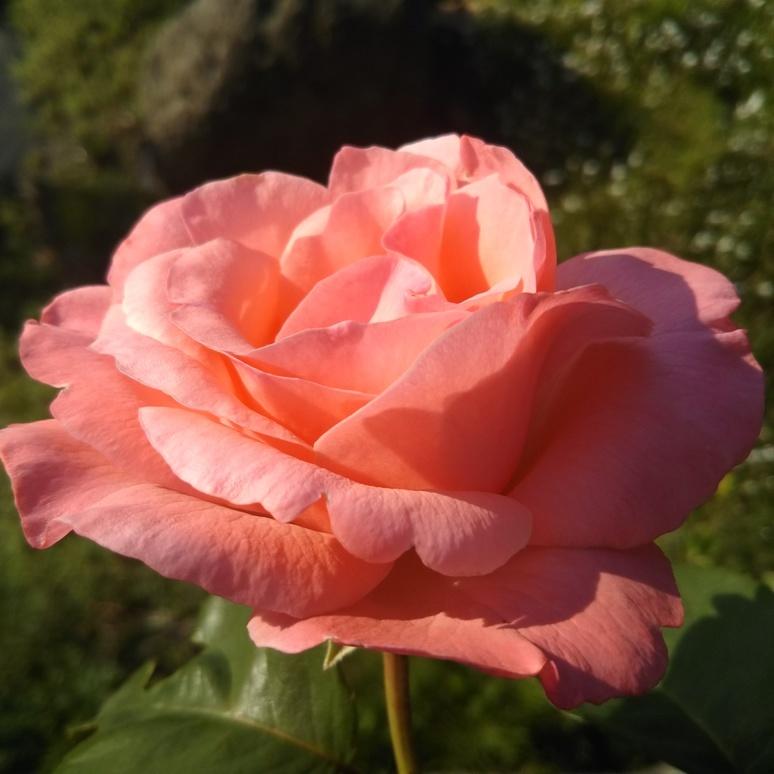 Rose 20170520