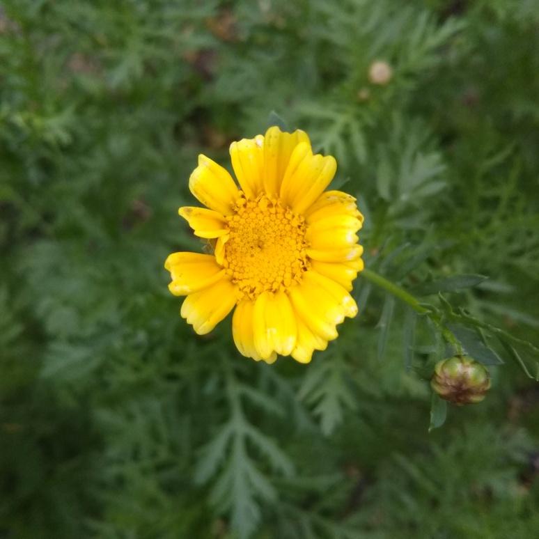 Shungiku chrysanthemum 20170523