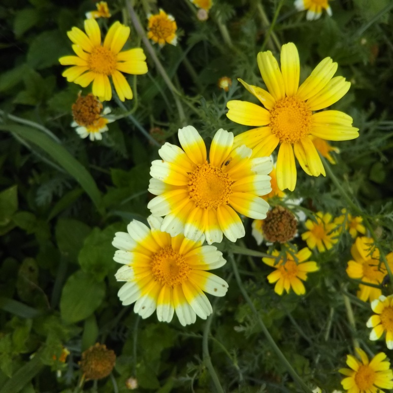 Shungiku chrysanthemum 20170618-2