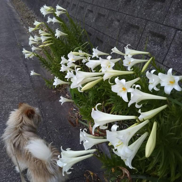 Teppouyuri gun lily 20170605-2