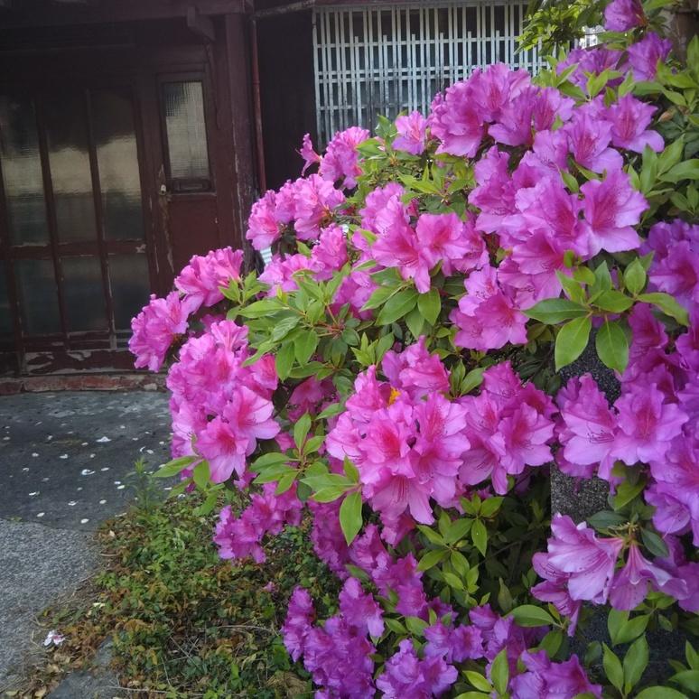Tsutsuji 20170430
