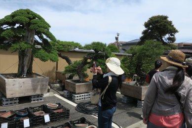 高価そうな松柏盆栽