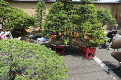 欲しい蝦夷松盆栽