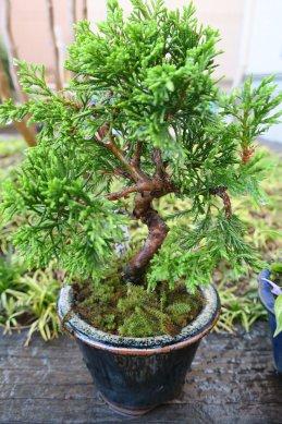 ミニ真柏(盆栽祭り会場で植付けたもの)