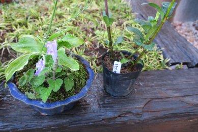 ギボウシ・タツナミソウ寄せ植えとクチナシ一寸法師
