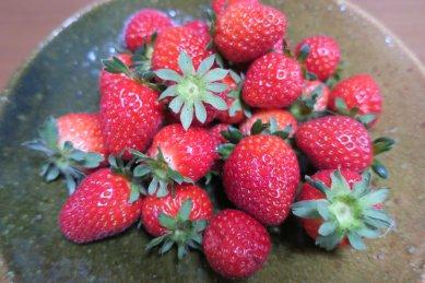 五日目のイチゴ収穫