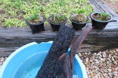 ヘゴor流木・植替え対象鉢