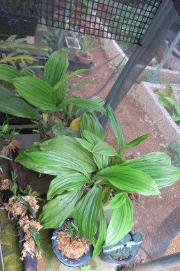 鉢植コオズの花柄摘み後